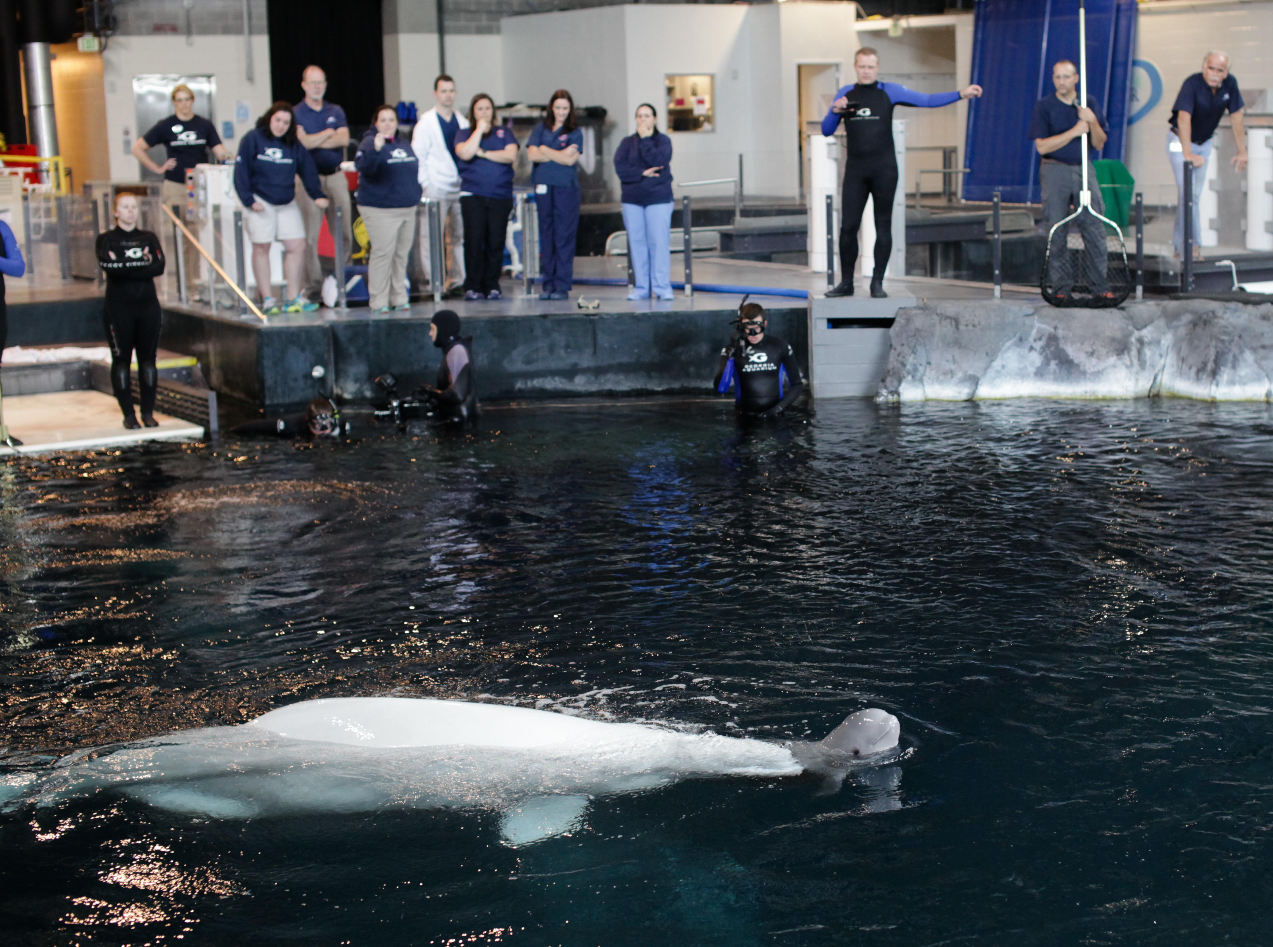 Georgia Aquarium Welcomes Female Beluga Whale Calf On