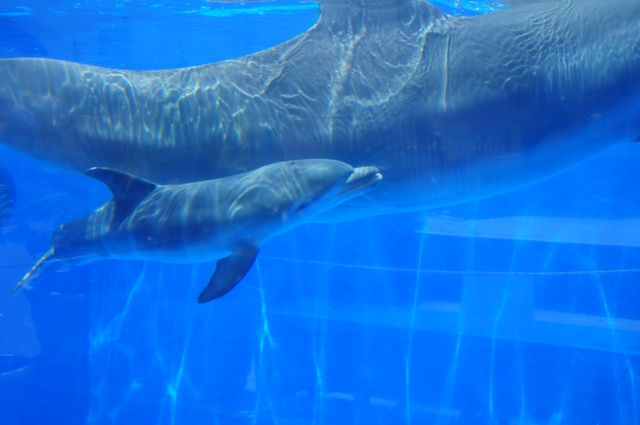 Marineland Dolphin Adventure Mourns Loss of Dolphin Calf