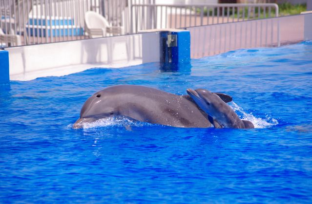 Dolphin Calf Born at Marineland Dolphin Adventure