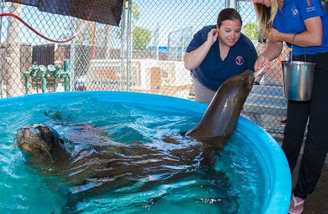 Sea Lion Transport12