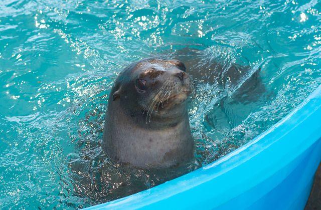 Sea Lion Transport5