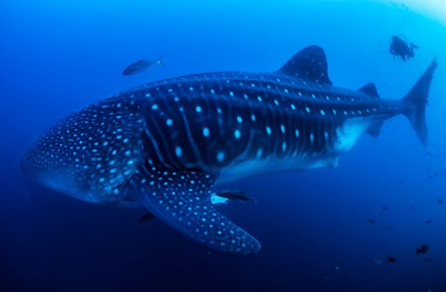 Galapagos Whale Shark Project_1