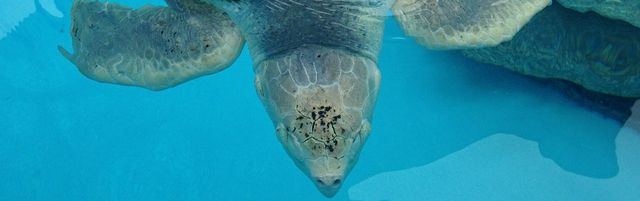 Marineland Dolphin Adventure Welcomes Kemp's Ridley Sea Turtle