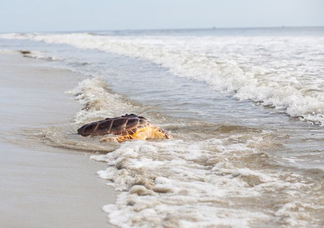 Update: Georgia Aquarium to Release Sea Turtle in Jekyll Island