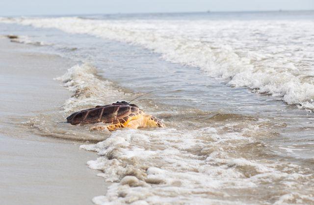 Update: Georgia Aquarium to Release Sea Turtle in Jekyll Island