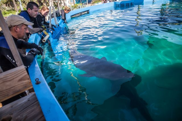 New Sand Tiger Breeding Facility Opens at Marineland Dolphin Adventure