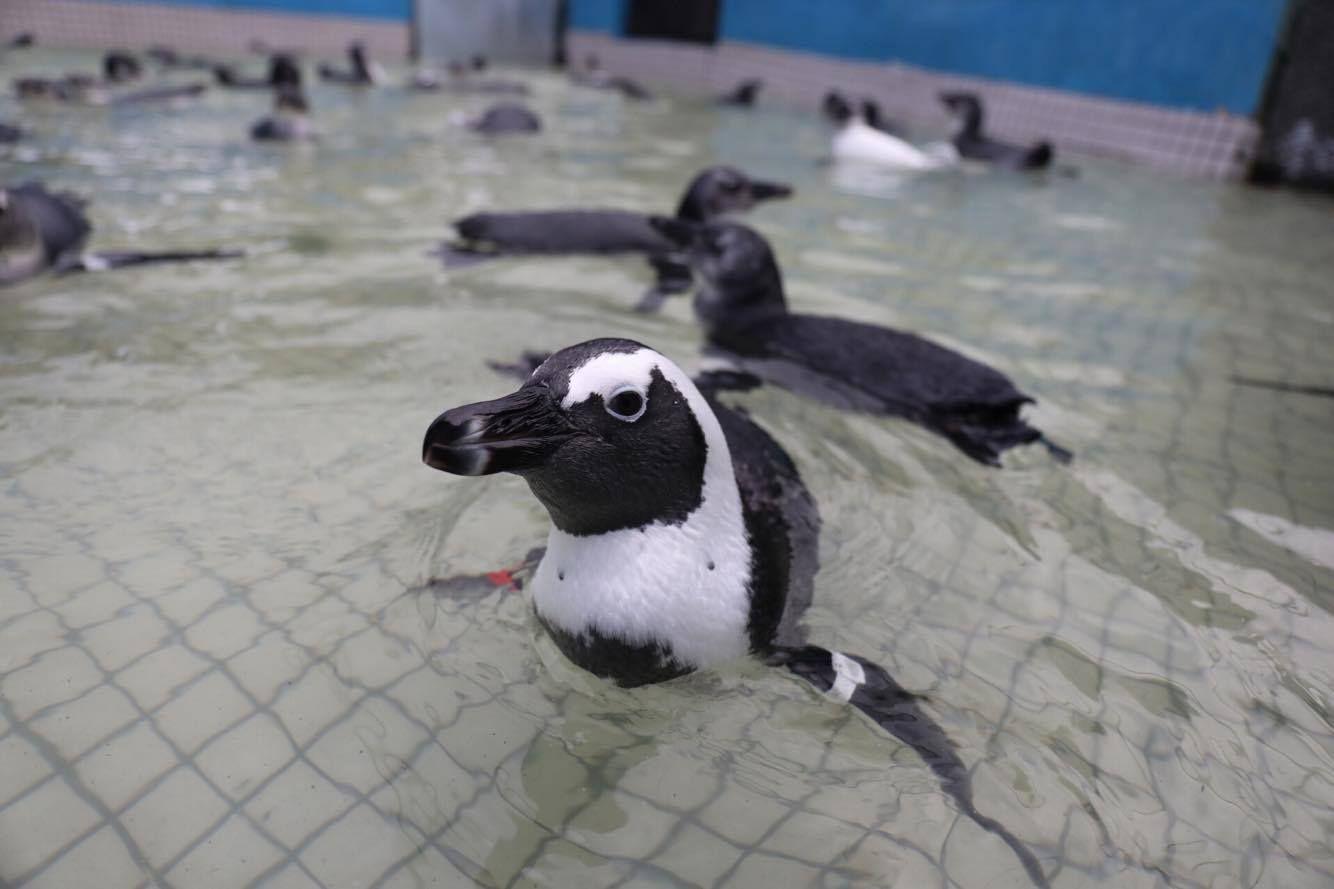 Georgia Aquarium Releases Rehabilitated African Penguins ...