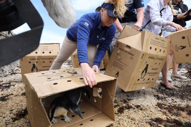 Penguin Care Team Recounts Penguin Release at SANCCOB