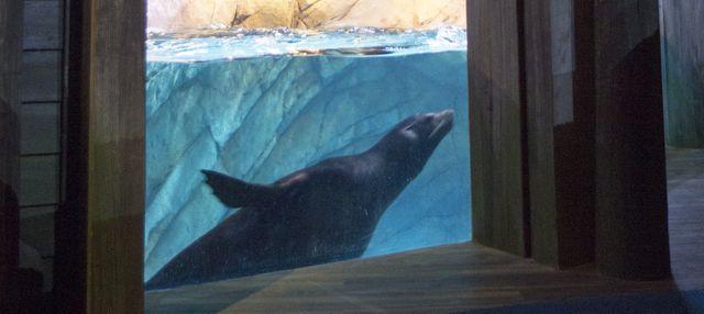 California Sea Lion Exhibit Window Now Open To the Public at Georgia Aquarium