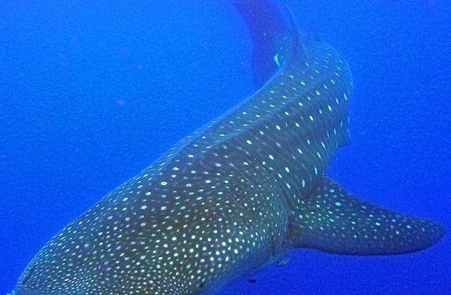 St. Helena_Whale Shark