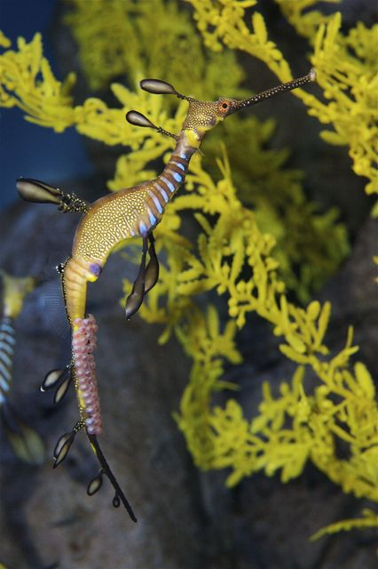 Exotic Weedy Seadragons Prepare for New Young Just In Time for Mother's Day