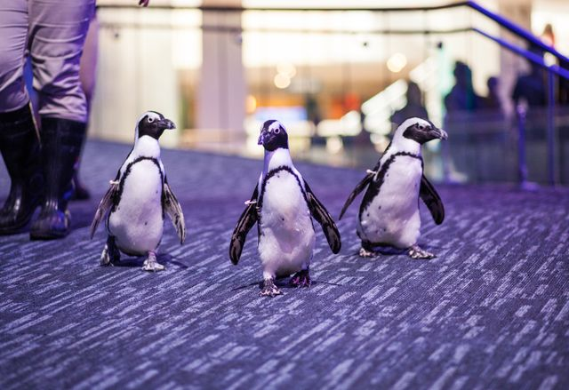 Waddle Over to Georgia Aquarium for New African Penguin Experience