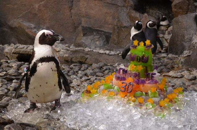 Charlie, the African penguin, Turns 30!
