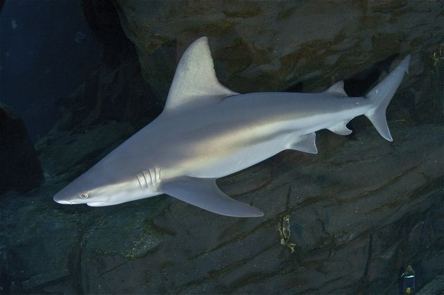 Discover Georgia Aquarium's Different Species of Sharks