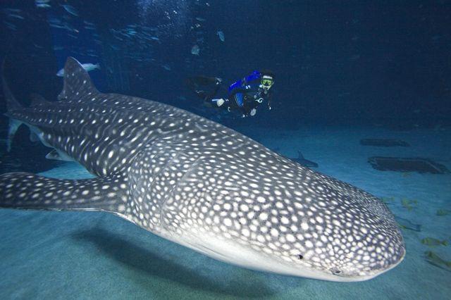 Take a Journey with Gentle Giants at Georgia Aquarium
