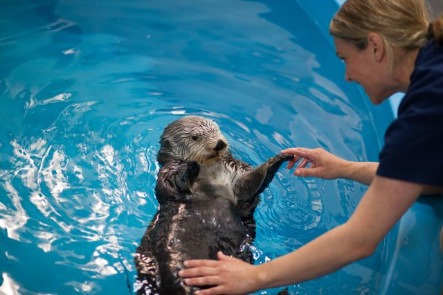 Geriatric Southern Sea Otter Receiving Specialized Care As She Ages