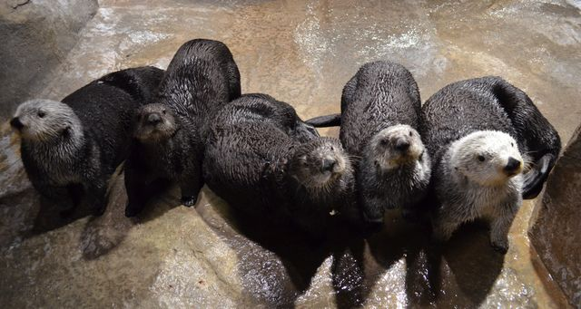 Celebrate Sea Otters During Sea Otter Appreciation Week