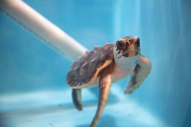 Sea Turtles Welcomed at Georgia Aquarium as Part of Hurricane Matthew Relief