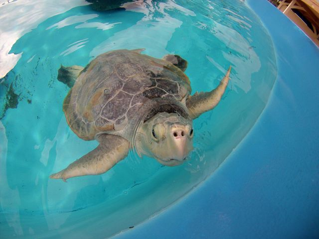 Kemp's Ridley Turtle at Marineland Dolphin Adventure Aids Rescued Turtle