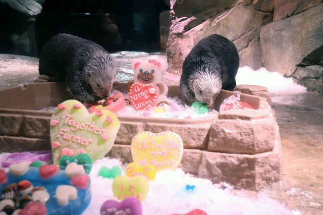 Southern Sea Otters Enjoy Valentine's Day Enrichment