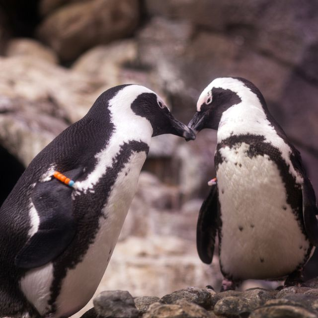 Campaign to Raise $150,000 For Penguin Conservation Kicks Off Today