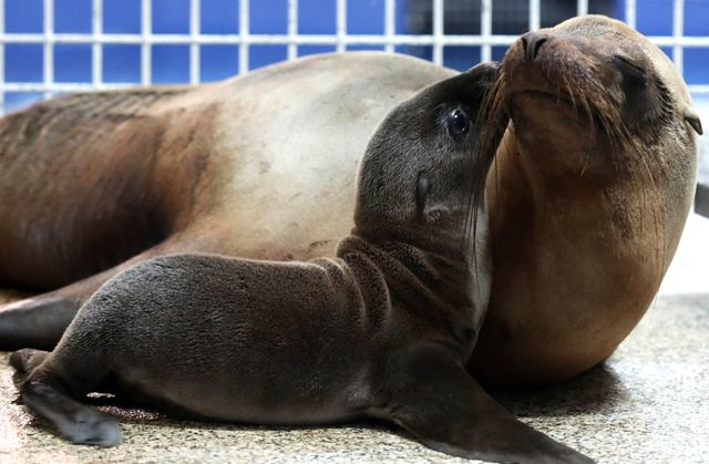 Sea Lion Pup Born at Georgia Aquarium