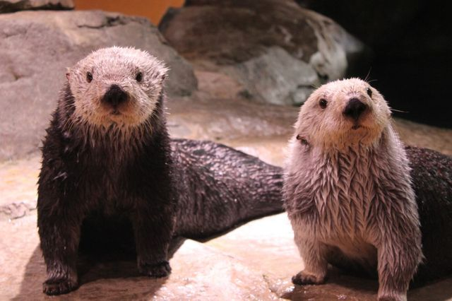 Red Brick Brewing Co. and Georgia Aquarium Announce Sea Otter Stout
