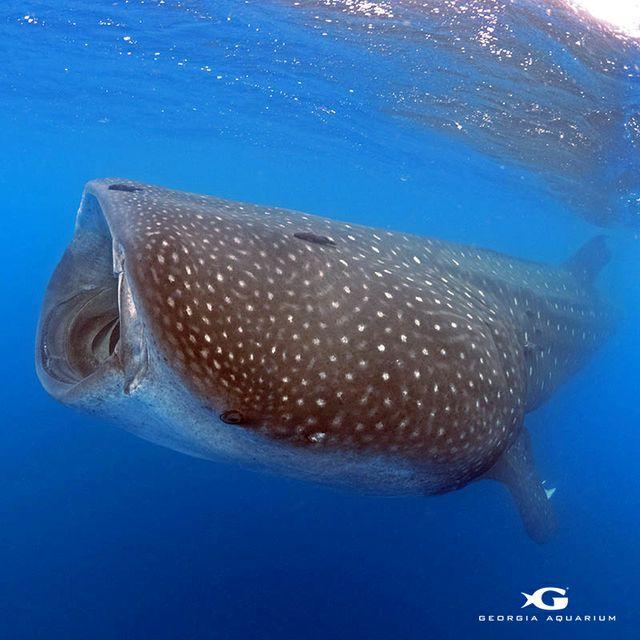 St. Helena_Whale Shark (2)