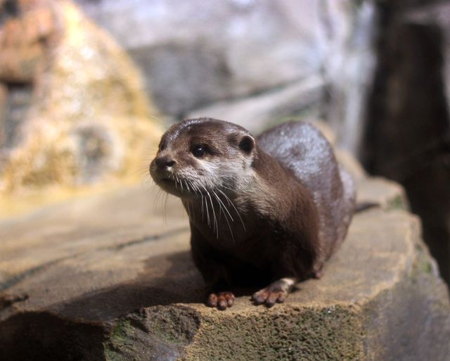 Asian Small Clawed Otter (1)