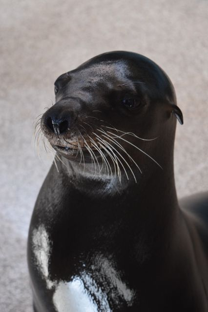 #HelpingHunter: Rescued California Sea Lion Receiving Specialized Surgery