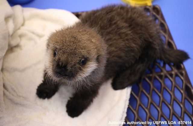 Sea Otter Pup at ASLC