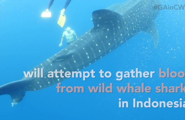Whale Shark Research Countdown #2
