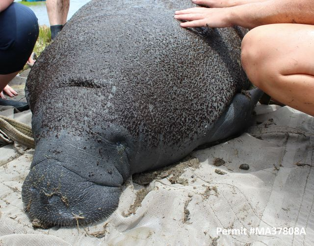 Georgia Health Assessment Project Adds Manatees, Gains Insight