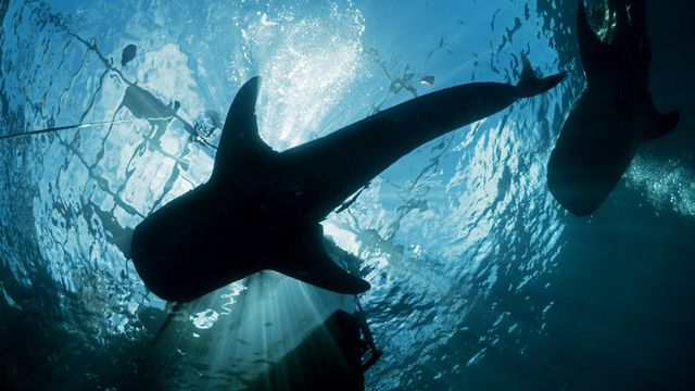First Successful Wild Whale Shark Health Assessments Performed