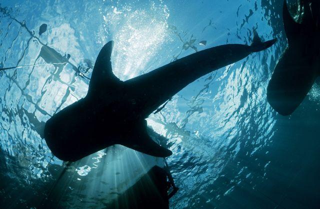 Cenderawasih Bay Whale Shark
