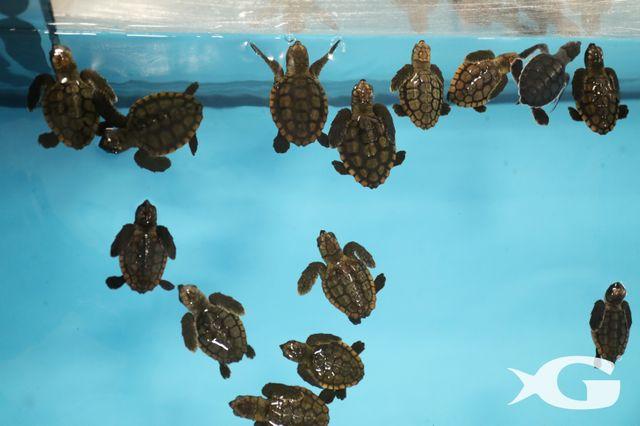 More Than 50 Sea Turtles Welcomed at Georgia Aquarium  from Hurricane Irma Evacuation