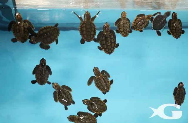 More Than 50 Sea Turtles Welcomed at Georgia Aquarium  from Hurricane Irma Evacuation