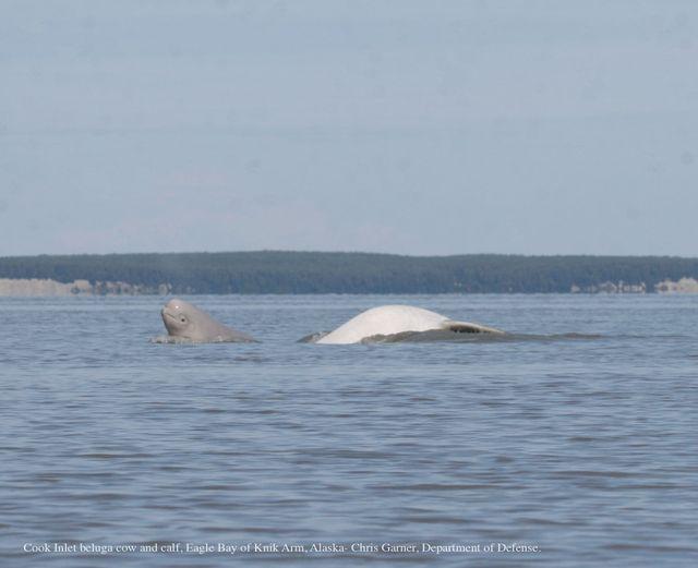 Aquariums Fund New Research to Save Endangered Belugas