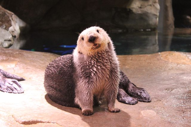 Celebrate Sea Otter Awareness Week