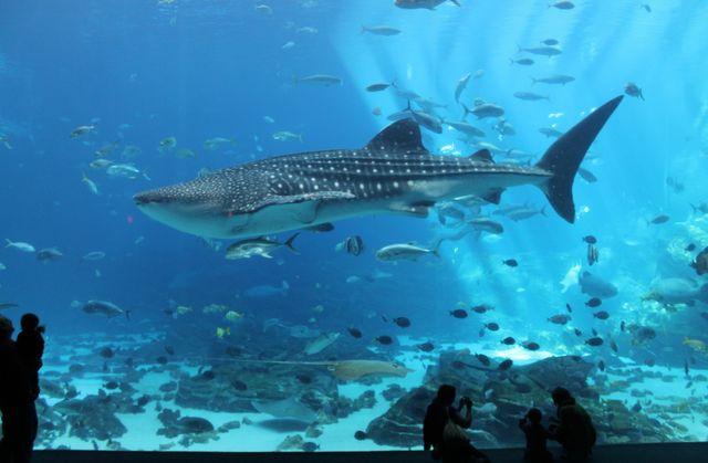 Whale Shark (1)