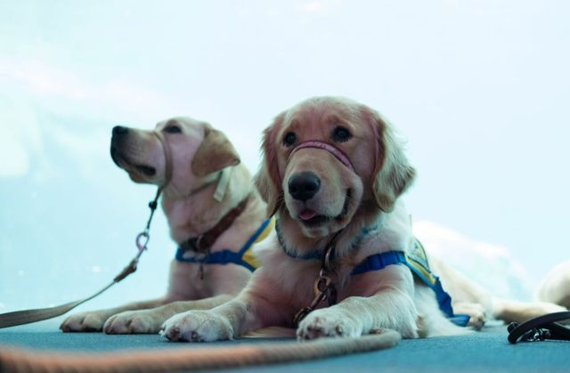 GAQ-Service-Dogs-955_preview