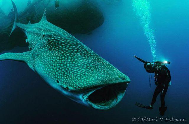 Whale Shark Zach 1