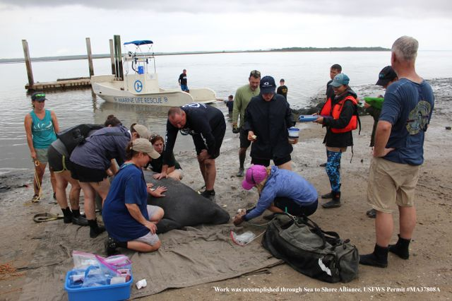 Four Manatees In Georgia Receive Satellite Tags