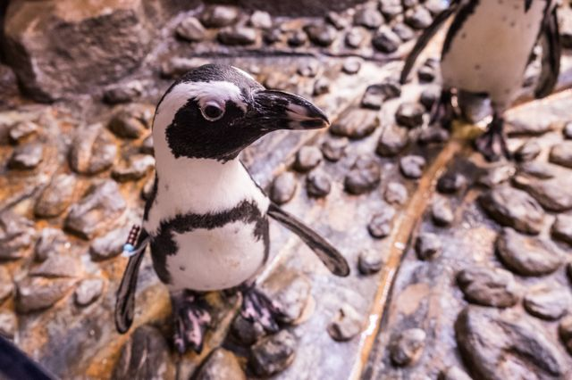 Waddle You Know? It's African Penguin Awareness Day!