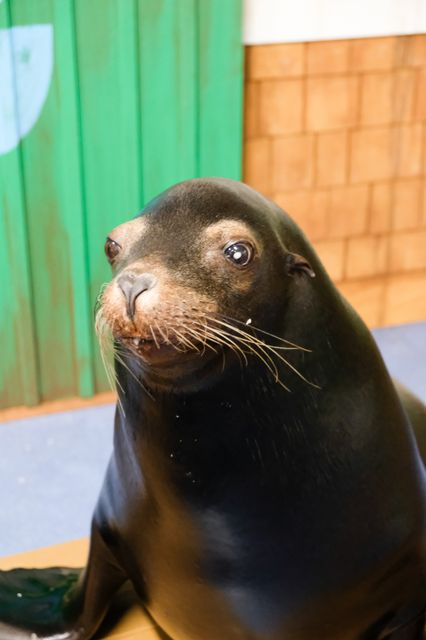 Sea Lions Alex & Josie Receive Surgery for Cataracts: PHOTOS