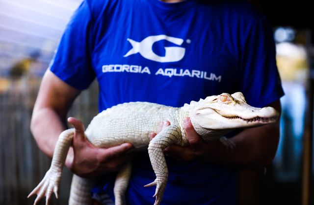 Rare Alligators Arrive at Georgia Aquarium