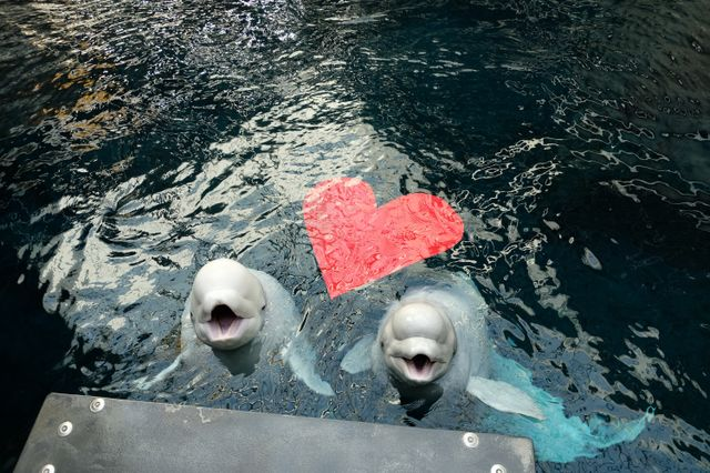 The Laws of Attraction: Beluga Whales