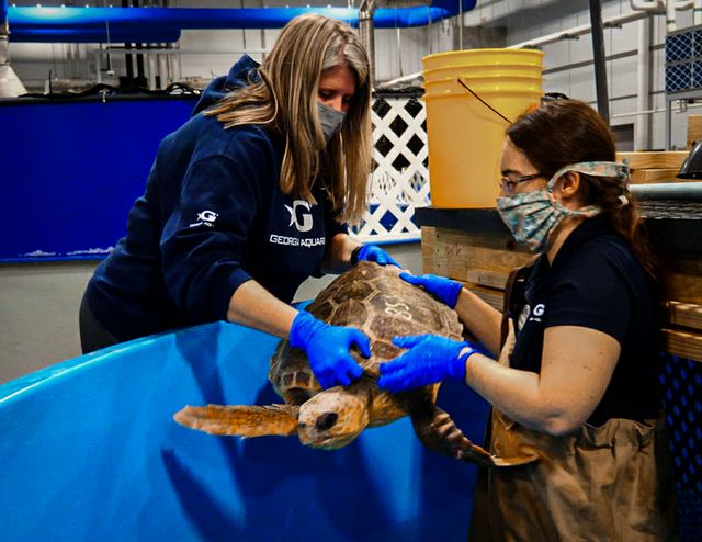 Georgia Aquarium Offers Temporary [Warm] Home to Cold-Stunned Turtles