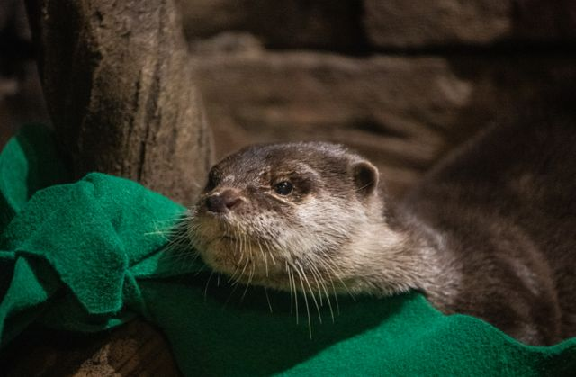 Asian Small-Clawed Otters at Georgia Aquarium Test Positive for COVID-19