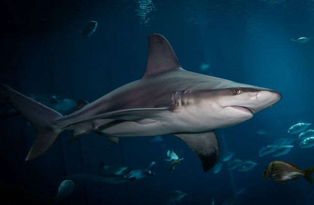 New Global Study Finds Unprecedented Shark and Ray Extinction Risk